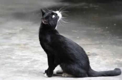 半夜猫叫有什么预兆,引魂猫叫第二天会死人