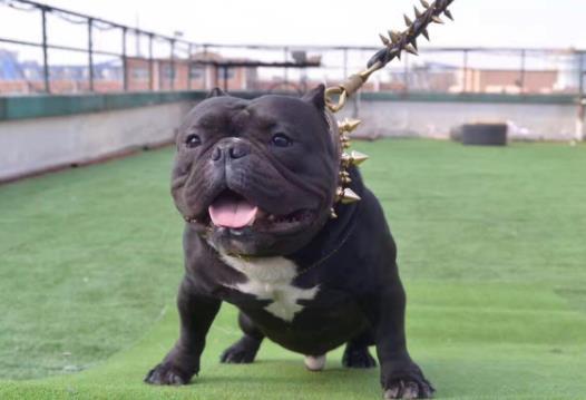 恶霸犬为什么被禁养,大部分人没有能力训养