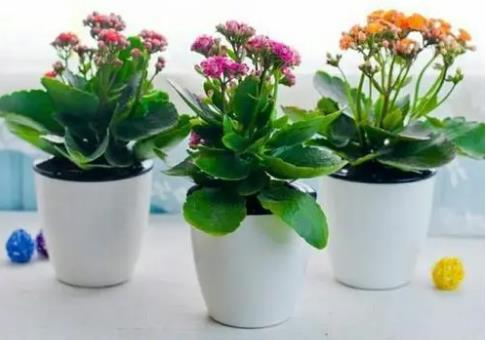 长寿花放哪风水最佳,摆放到阳台接受阳光照射