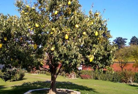 无花果树能旺风水吗,要结合主人的生辰八字来看