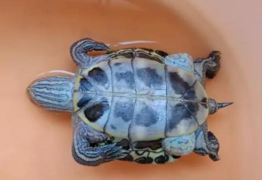 乌龟死在家里挡灾,主人请个法师为它超度亡灵