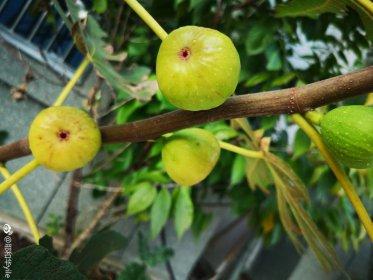 家种无花果树有讲究吗,不挡门就没大的影响