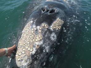 藤壶长在鲸鱼上会怎么样