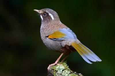 玉山噪鹛:中国台湾特有种,不善于飞行(向上跳像松鼠)