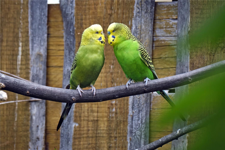 虎皮鹦鹉怎么分辨公母